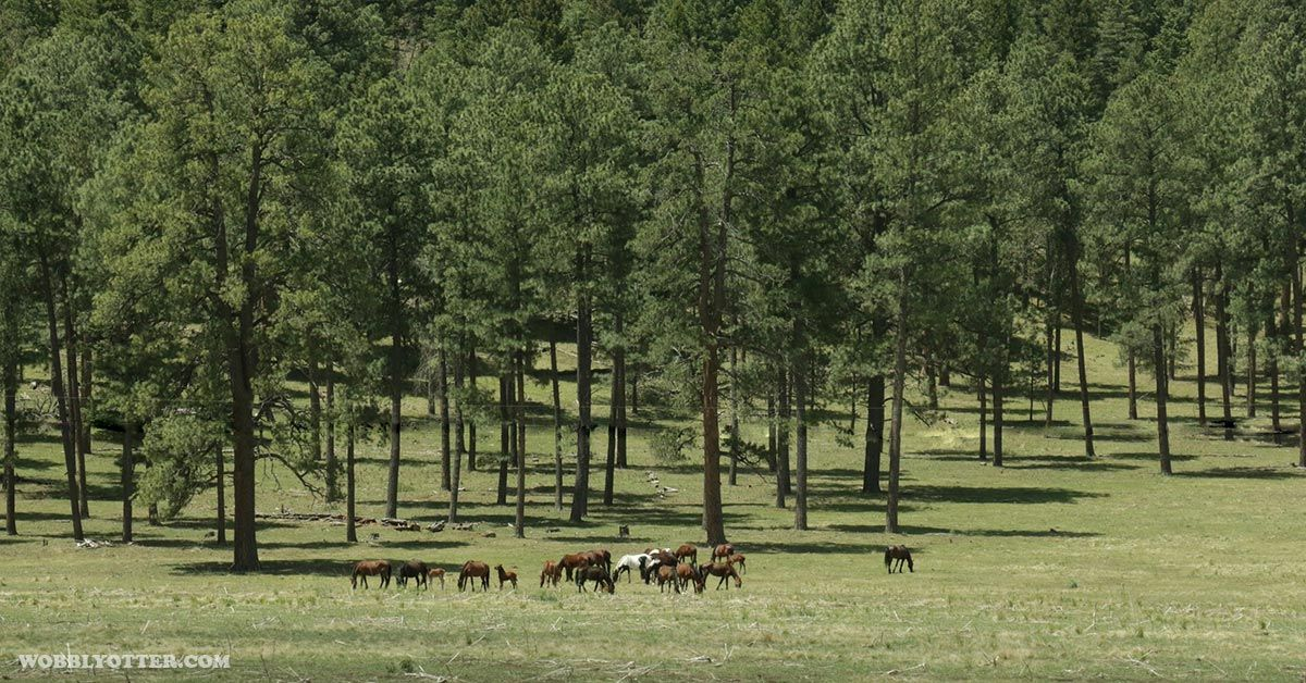 Horses in the mountains and forest in the Cloudcroft, NM area