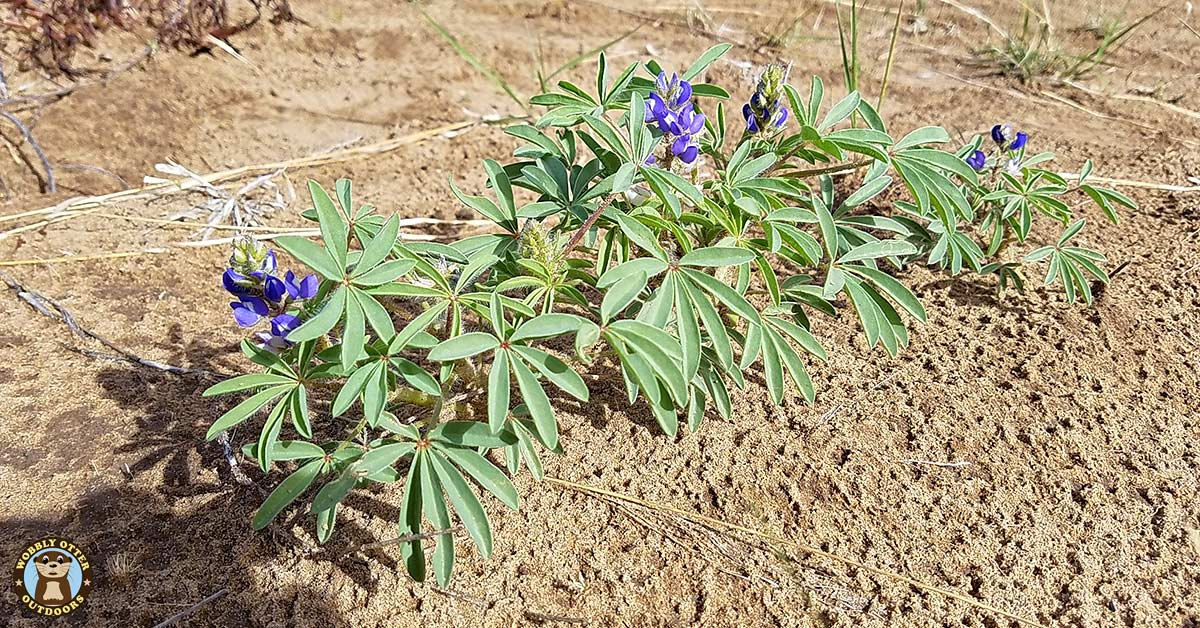 bluebonnets in the sands along the Canadian River